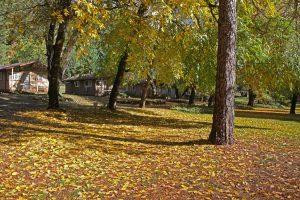 Golden Leaves Covering California