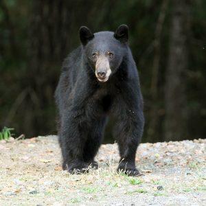 Bear visitng Marble Mountain Ranch
